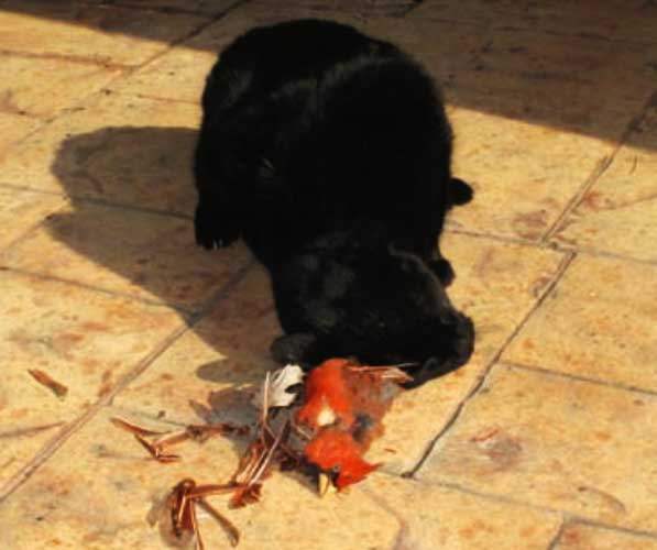 Feral cat with a dead Cardinal bird that he caught
