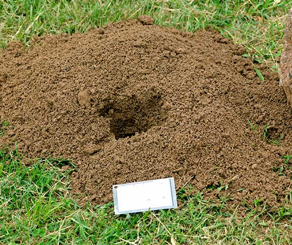 A pocket gopher mound