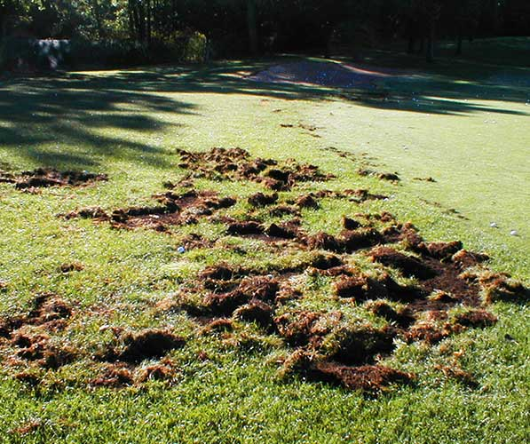 Rolled up and shredded sod from raccoon damage
