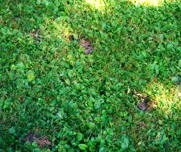 Cone-shaped holes dug at surface of lawn indicating skunk damage