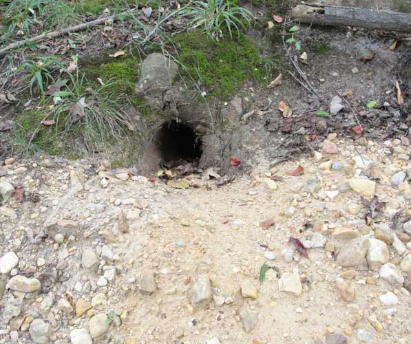 Entrance to a Woodchuck burrow