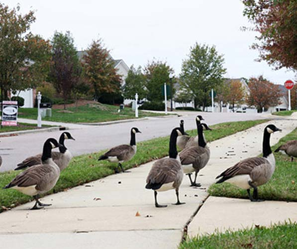 Geese in a residential neighborhood