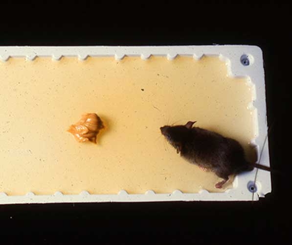 Mouse caught on a glue trap baited with peanut butter