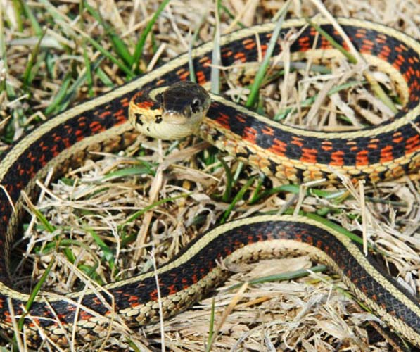 A garter snake exhibiting defensive behavior strike position