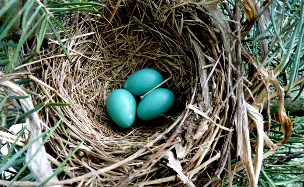 A bird's nest with three blue eggs in it